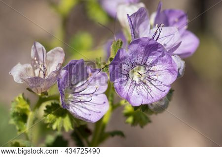 Purple Helicoid Cyme Inflorescences Of Giant Scorpionflower, Phacelia Grandiflora, Boraginaceae, Nat