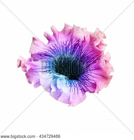 Purple Gradient Petunia Flower Close-up On A White Background. Isolated Flower For Design Of Invitat