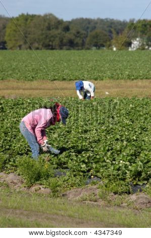 Strawberry Pickers Women Laborer