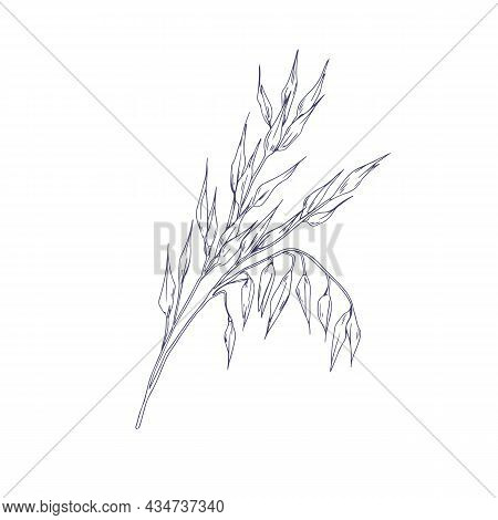 Outlined Oat Spikelets With Ears And Grains. Botanical Vintage Sketch Of Field Cereal Plant. Engrave