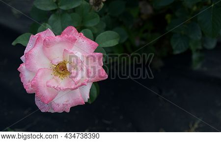 A Large Beautiful Bud Of A Red And White Rose That Grows On A Bush And A Lot Of Space For Text Place