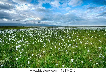 Field of cotton grass in a valley surrounded by sea and mountains in the eastern Fjords, Iceland