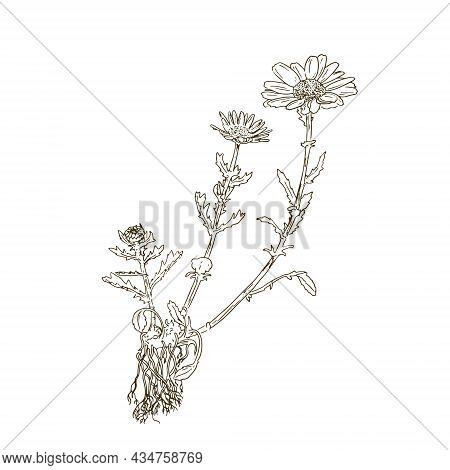 Daisy Plant And Flower Drawing Set. Isolated Camomile Wild Flower And Leaves. Herbal Engraved Style.