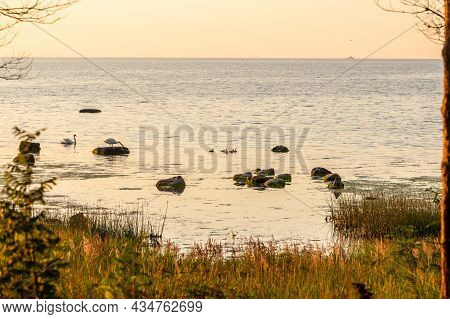 Calm View To Swan Family During Sunset On The Beach. Coastal Sundown With Swans, Swan Babies, Rocks,