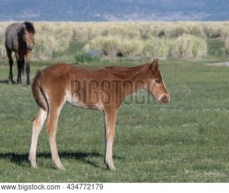 Bay Mono Lake Wild Colt In The Morning In A Meadow, Alone, Resting, Side View, California, Usa, And