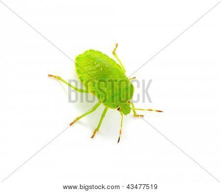 Green shield bug species Palomena prasina on white