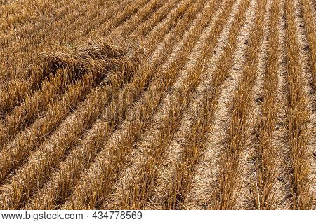 Stubble In The Field After Harvest. Cut Stalks Of Cereals In The Field In Summer. Slender Rows Of Gr