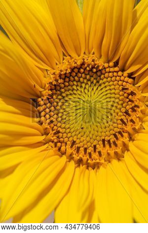The Middle Of The Inflorescence Of Yellow Sunflowers In The Field, Growing Food, Sunflower Field Dur
