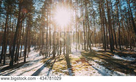 Beautiful Sunset Sun Sunshine In Sunny Early Spring Coniferous Forest. Sunlight Sun Rays Shine Throu