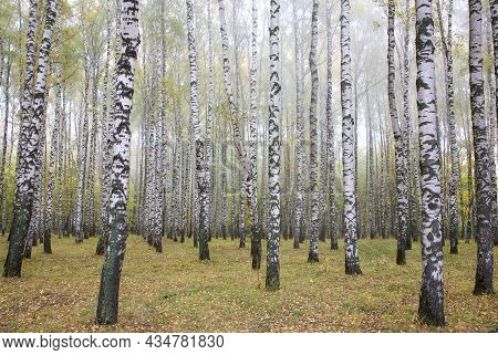 Birch Grove In Autumn Morning Fog In The First Of October