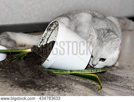 The White Cat Dropped A Flower Pot With A Flower On The Floor. The Soil Crumbled From The Flower Pot