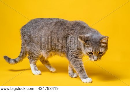 Cat Walks Cautiously And Uncertainly, Looking Interested And Incredulous. Studio, Yellow Background.