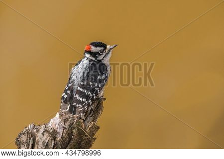 Small Male Downy Woodpecker With A Red Patch On The Back Of Its Head Perched On A Tree Limb Looking