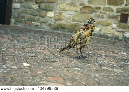 Pheasant Searching For Food, Isola Maggiore, Lake Trasimeno, Tuoro Sul Trasimeno, Umbria, Italy