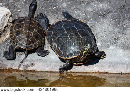 Yellow-bellied Slider Turtle. Reptile And Reptiles. Amphibian And Amphibians. Tropical Fauna. Wildli