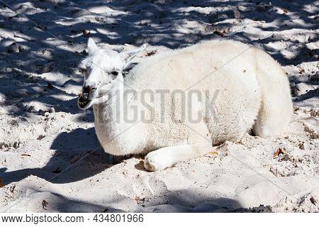 Llama. Mammal And Mammals. Land World And Fauna. Wildlife And Zoology. Nature And Animal Photography
