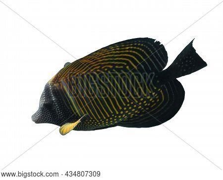 Red Sea Sailfin Tang (zebrasoma Desjardinii) Isolated On A White Background. Marine Black Tropical F