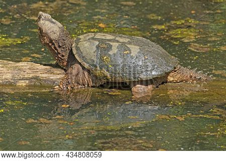 A Snapping Turtle Basking In The Springtime Sun In Cuyahoga Valley National Park In Ohio