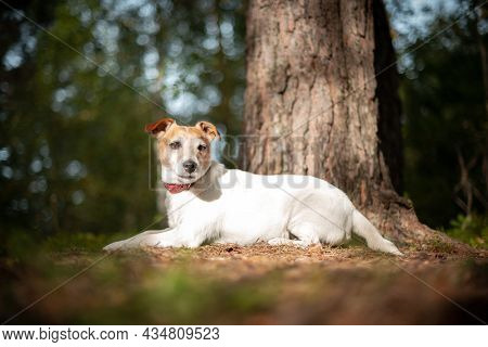 Jack russel terrier dog in green spring forest with lush foliage. Animal and nature photography