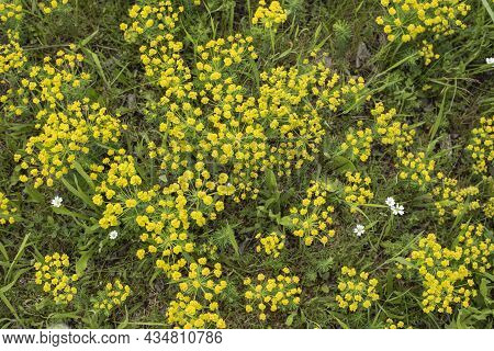 Cypress Spurges With Yellow Petal-like Bracts Growing In A Dry Meadow