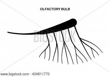 Olfactory Nerve Anatomical Icon. Human Nasal Cavity Concept. Olfactory Bulb, Smell Receptors And Fib
