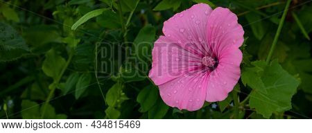 Large Pink Mallow Flower Close-up With Raindrops. Blooming Pink Flowers Of Mallow Lavater.