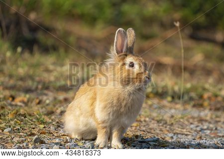 Fluffy Brown Bunny Rabbit Sitting On The Dry Grass Over Environment Natural Light Background. Furry