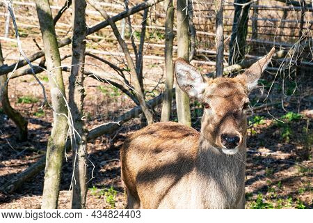 A Female Deer Among The Dry Trees In The Reserve. Close-up Of A Deer's Muzzle. A Smart And Beautiful