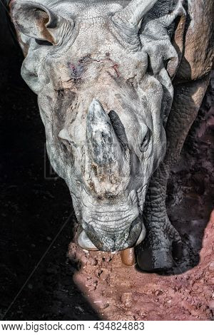 Portrait Of Indian Rhino With Wounded Head Skin