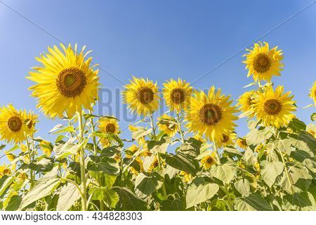Field Of Blooming Yellow Sunflowers In The Summer Season In Sunflowers Farm And Other Flowers.