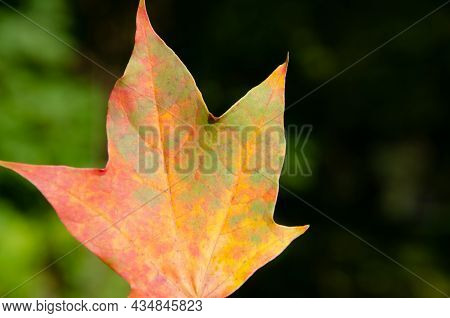 Autumn Composition Of Colorful Foliage. Close-up Yellow, Orange, Red And Green Maple Leaf On Green B