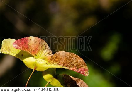 Maple Seeds Surface Texture On Blurred Green Background. Green-pink Biplane - Fruit Of Maple Tree Wi