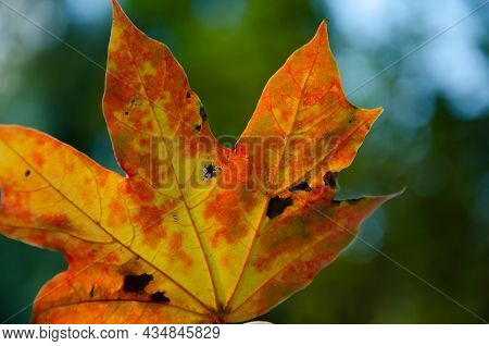 Surface Texture Of Yellow, Orange, Red Maple Leaf On Green Blurred Bokeh Background. Autumn Backgrou