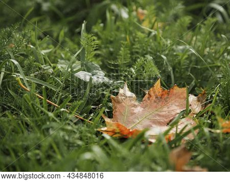 Fall Season. Bright And Colorful Fallen Maple Leaves. Red And Orange Autumn Leaves On Green Grass.
