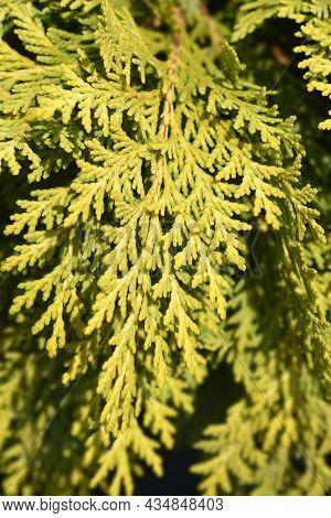Lawsons Cypress Sunkist - Latin Name - Chamaecyparis Lawsoniana Sunkist
