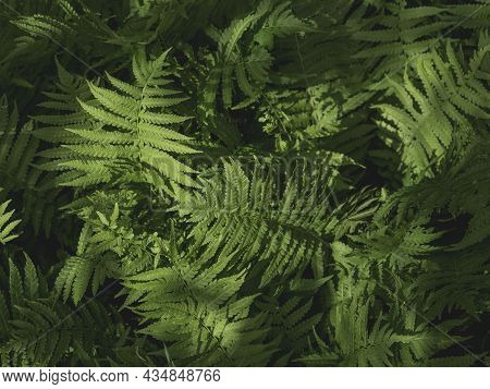 Natural Background With Sunbeams On Thick Green Fern Leaves.