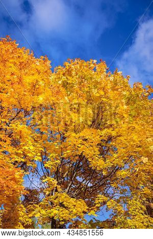 Maples With Yellow Leaves In The Autumn Park.