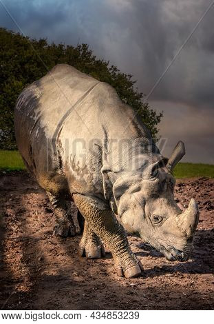 Indian Rhino   On Clay Ground In The Evening Light