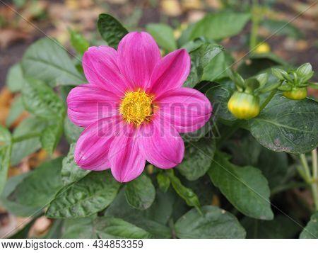 Pink Cosmos Flowers Blooming In The Garden.