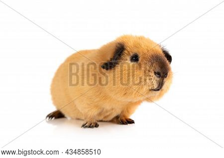 Lovely Guinea Pig Portrait Isolated On White Background