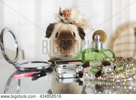 Amusing Guinea Pig With A Cap On Her Head Looks In A Cosmetic Mirror At The Makeup Table Indoors
