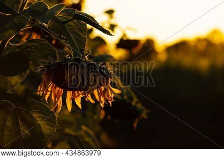 Closeup Dramatic View At Sunflowers Being Backlit Summer Evening Time