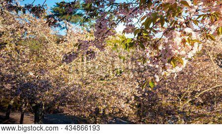 Beautiful Pink Cherry Trees Blooming Extravagantly Nature Scene. Japanese Sakura