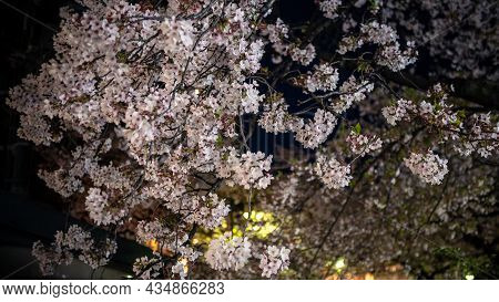 A Nature Scene Of Beautiful Cherry Trees Blooming In Street City At Night. Japan
