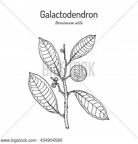 Galactodendron Brosimum Utile , Medicinal Plant. Hand Drawn Botanical Vector Illustration
