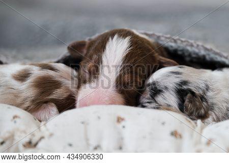 Newborn Australian Shepherd Dogs. Aussie Puppies Lie And Sleep On White Pillows Covered With Warm Gr