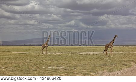 Two Graceful Giraffes Stand In The African Savanna. Long Necks Against A Cloudy Sky. Yellowed Grass