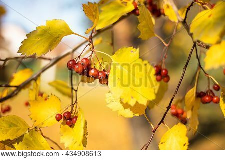 Fresh Ripe Red Berries Of Hawthorn On Branch Tree With Yellow Leaves In Sunny Day. Autumn Harvest. N