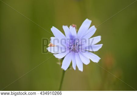 Common Chicory In Bloom Close-up View With Green Blurry Background