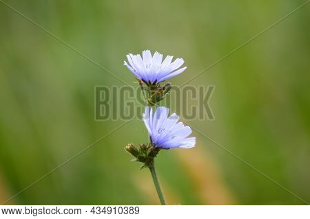 Two Common Chicory Flowers Close-up View With Blurry Green Background